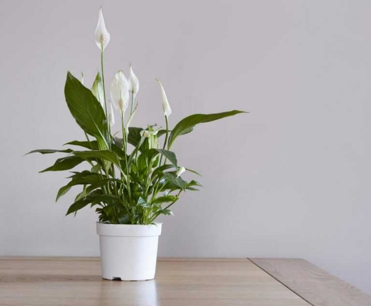 22720 Peace Lily IDN Times