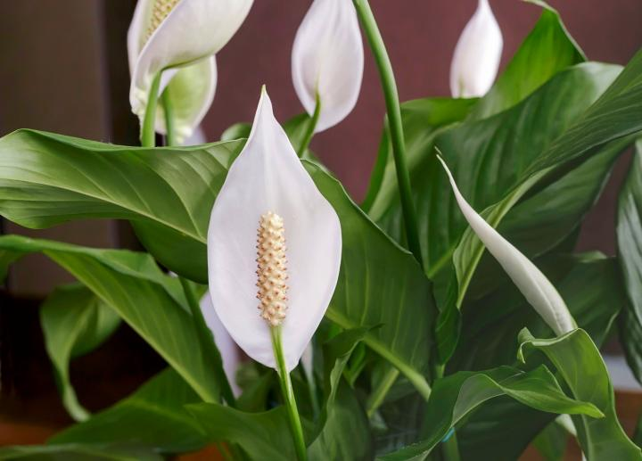 261020 Peace Lily