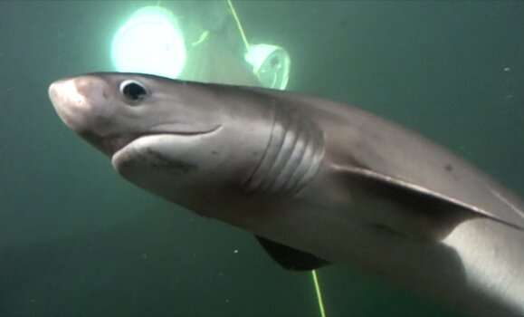 Surprise: Bluntnose sixgill sharks may like to prowl urban waters